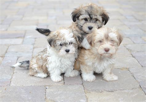 are havanese with children havanese riverview kennels