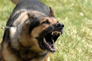 bluetick coonhound hunting training german shepherds are the 3rd smartest dog breeds german