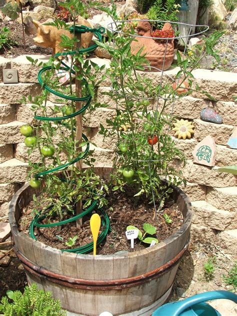 Early Girl Tomato Plant In A Wine Barrel Vegetable Early Garden Vegetables