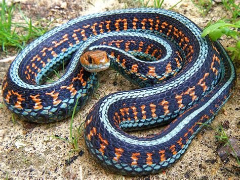 colorful snakes colorful snakes images search