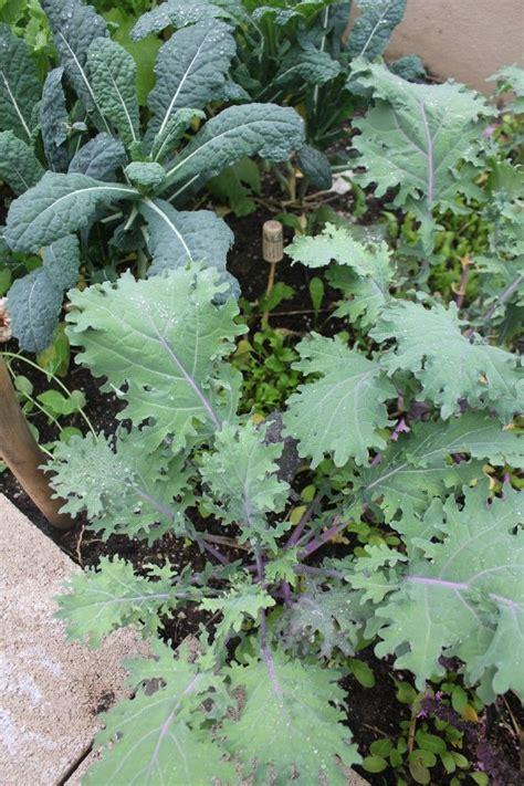 winter vegetable garden edibles in the garden