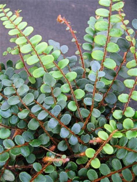 fern button fern landcraft environments