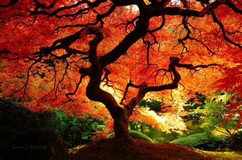 brilliant orange red japanese maple tree