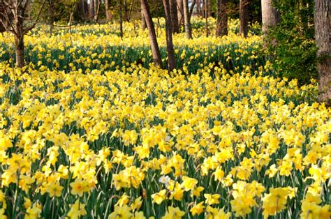 gibbs gardens daffodil festival begins march 1 southern living the most stunning daffodil