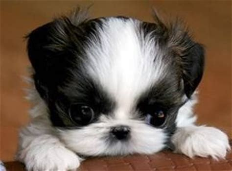 teacup shih tzu for adoption 25 best ideas about shih tzu rescue on boxer quotes caeser
