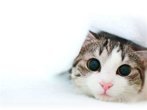 wallpaper cats kawaii cute cat wallpapers wallpaper cave