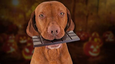 what happens if dogs eat chocolate chocolate www pixshark images galleries with a bite