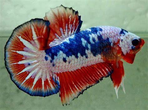 Betta Splendens Cupang Hias Plakat Galaxy what s new freshwater fish aquariums west