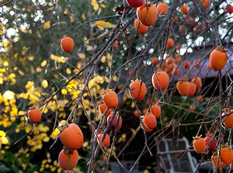 Places To Buy Beds Persimmon Tree Growing Conditions Where Does Persimmon Grow