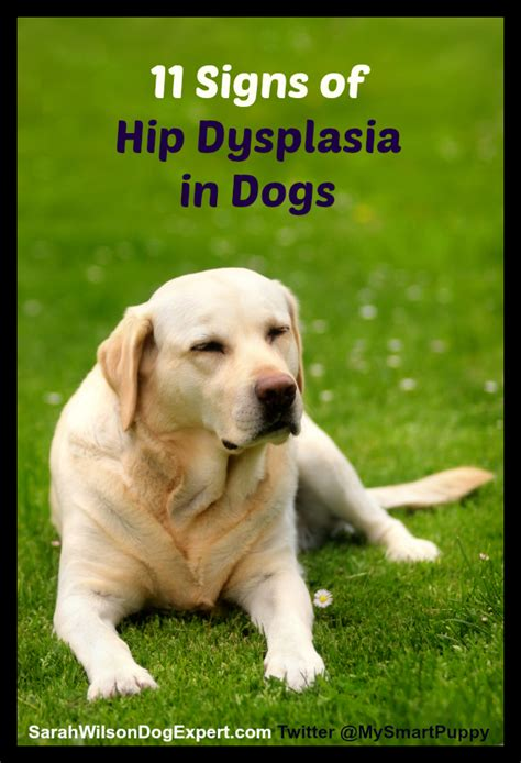 puppy hip dysplasia symptoms 11 signs of hip dysplasia in dogs