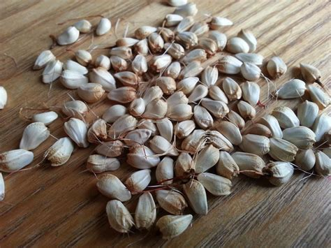 safflower carthamus tinctorius seeds and oil meal