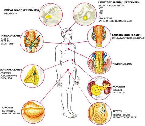 healthy fats balance hormones hormones and storage health