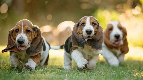 basset hound puppies price basset hound price range basset hound puppies for sale cost