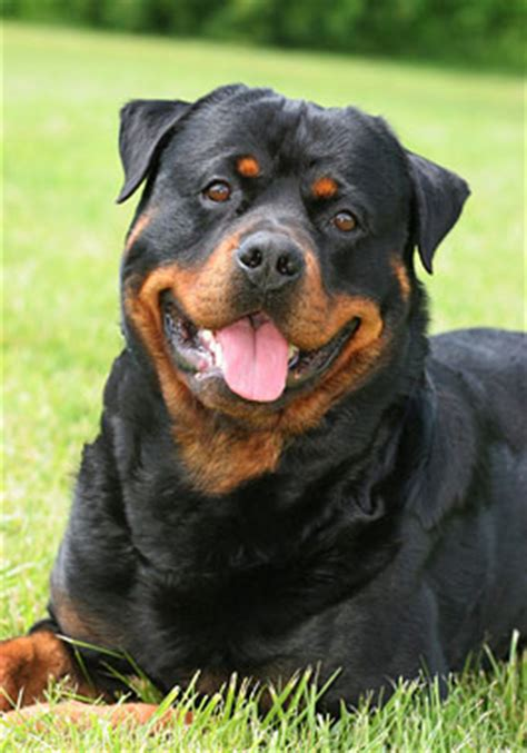 rottweiler breed info rottweiler breed information