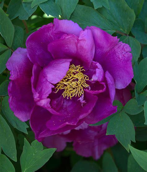 della fiore vendita peonie centro botanico moutan