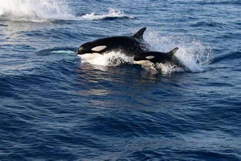 machos adultos pueden llegar hasta los 7 metros de largo y poseer mas orcas