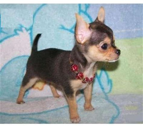 chihuahua puppies for adoption adorable chihuahua puppies for freee adoption avondale az asnclassifieds