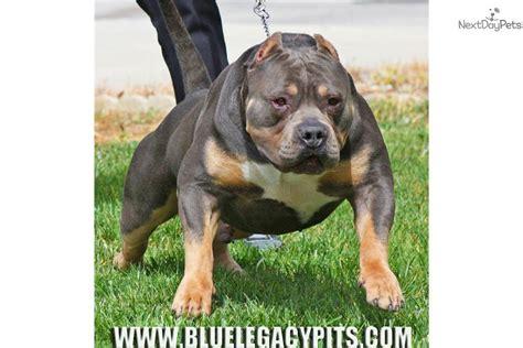 bully puppies for sale near me american bully puppy for sale near orange county california e3b9fdad 0cf1
