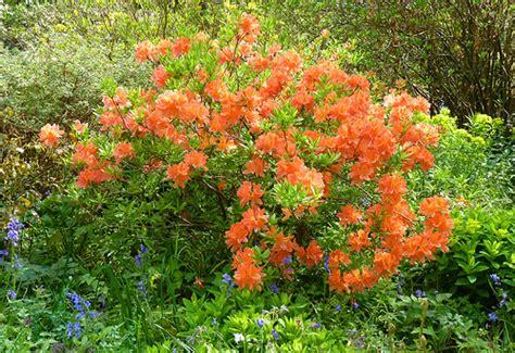 orange flower shrub orange rhododendron shrub in flower flickr photo