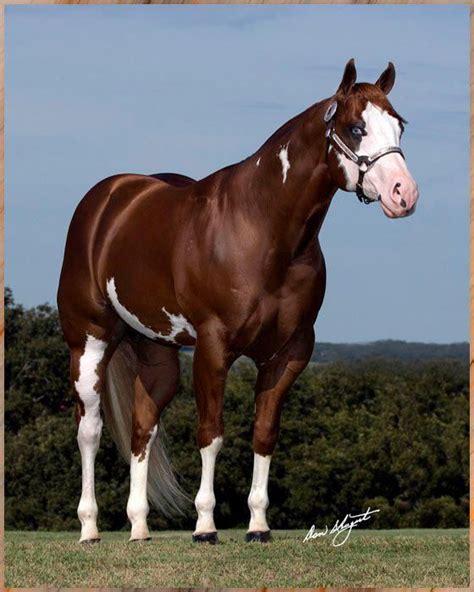cuarto milla los cuarto milla de pa vasca caballos caballos