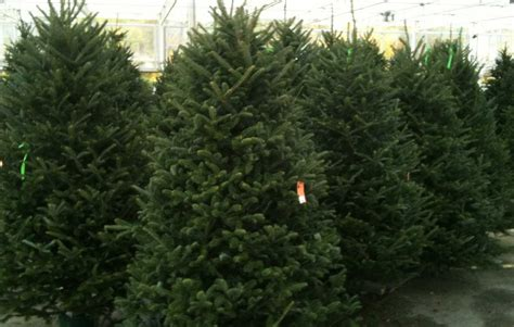 where to buy a live christmas tree in costa rica costs
