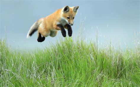 wallpaper   jumping fox  grass hd animals wallpapers
