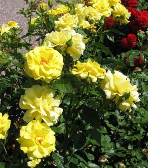 Tanaman Hias Mawar Kuning tanaman mawar floribunda kuning jual tanaman hias