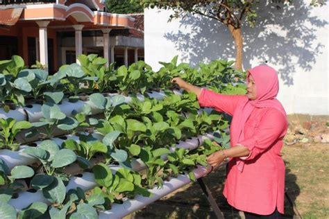 cara membuat nutrisi hidroponik sendiri untuk cabe panduan lengkap cara menanam sawi hemat tempat budidayakita