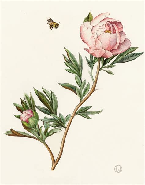 botanical drawing in color 0823007065 peony from the collection of botanical illustrations of flowers by wendy hollender botanical