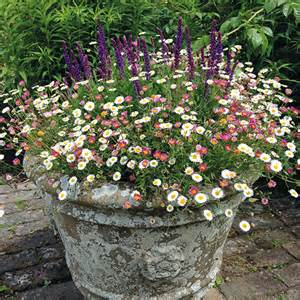 Flower Seeds For Hanging Baskets - erigeron stallone 20 large plug plants from mr fothergill s