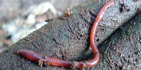 Cacing Magelang warga bantul digemparkan fenomena kemunculan cacing dan