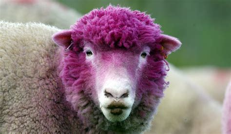 why they re dyeing local sheep pink as the giro d italia gets underway radio international