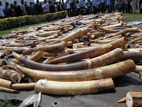 elephant ivory china bans import of ivory carvings for one year