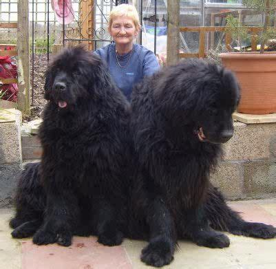 dogs that look like puppies as adults 374 best images about newfoundland beautiful dogs on best dogs canvas