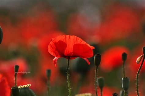 significato dei fiori papavero significato papavero rosso significato fiori