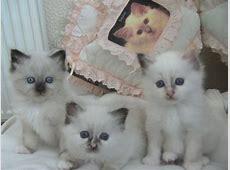Birman kittens for sale | Stockport, Greater Manchester ... Kittens For Sale