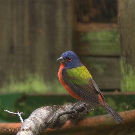 the perils of the painted bunting birds birds birds