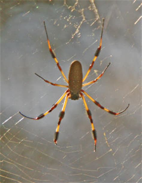 Garden Spider Sc Spiders At Spiderzrule The Best Site In The World About