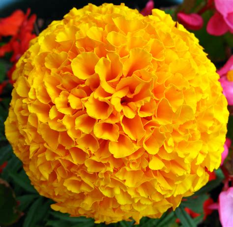 marigold color pictures of marigold flowers beautiful flowers