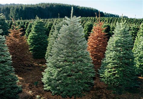 best christmas tree farms oregon 12 best tree farms in usa for trees live enhanced