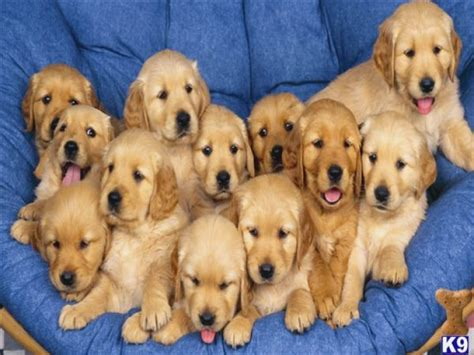 ebay golden retriever golden retriever minnesota puppies for sale golden breeders breeds picture