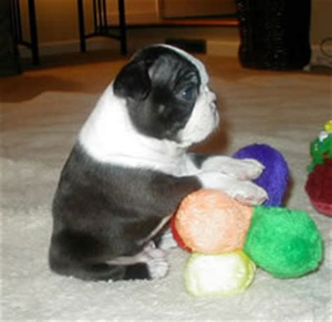 pictures of boston terrier puppies boston terrier puppies pictures