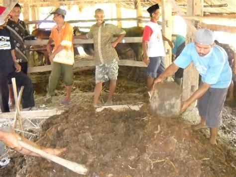 Pupuk Kotoran Sapi Tanpa Olahan bpp nanggulan proses pembuatan pupuk organik