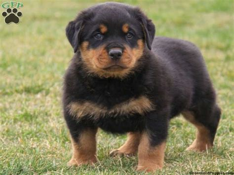 rottweiler puppies mix rottweiler puppies rottweiler puppies for sale in pa pink flower