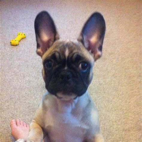 where to sell puppies frug puppies for sale breeds picture