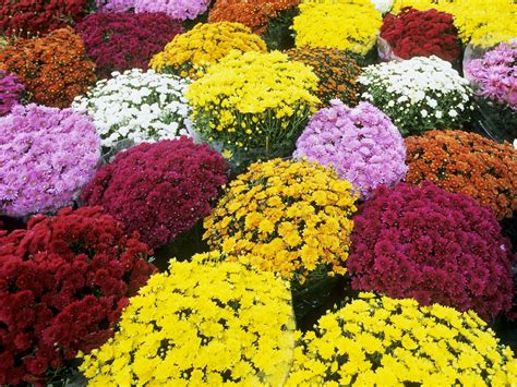 mums flower mums the word to live and die with chrysanthemums garden variety