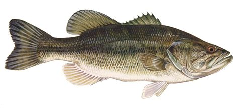 google images fish bass fish google search colorado fish that you can