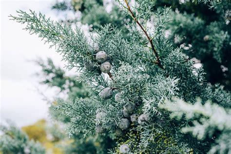 Pon Pon Baum 1240 by Pon Pon Baum Ilex Crenata Ponpon Terrapalme Heim Und