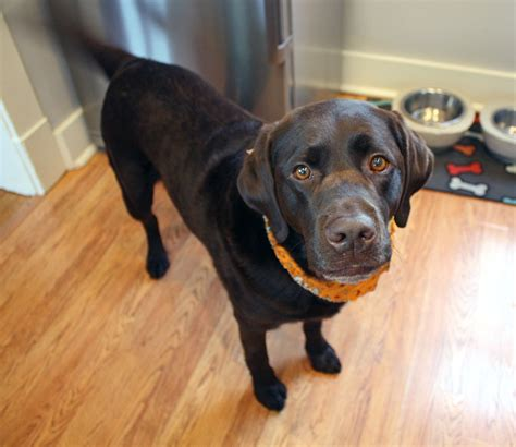 can dogs eat pumpkin pie pumpkin pie for dogs recipe inspired by a family favorite
