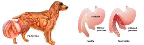 pancreatic cancer in dogs pancreatitis in dogs signs symtoms and treatment gordon vet